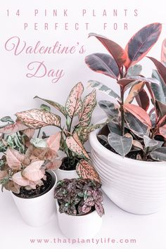 14 Pink Houseplants Today we're going over 14 pretty pink houseplants that will surely win you some extra love from the special person in your life. House Plants Decor, Plant Decor, Outdoor Plants, Outdoor Gardens, Indoor Garden, Garden Plants, Potted Plants, Planting Succulents, Planting Flowers