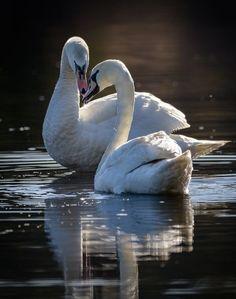 Beautiful Swan, Beautiful Birds, Animals Beautiful, Cute Animals, Swans, Cygnus Olor, Swan Pictures, Mute Swan, Swan Lake