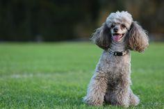 Toy Poodle - Mia in Sydney April 2014