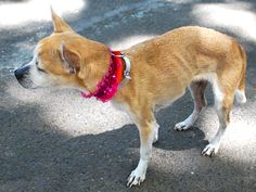 SAFE 9-14-2015 by  Ready for Rescue --- SUPER URGENT Manhattan Center CHACA – A1049830  FEMALE, TAN / WHITE, CHIHUAHUA SH MIX, 11 yrs STRAY – STRAY WAIT, HOLD FOR ID Reason OWNER HOSP Intake condition EXAM REQ Intake Date 08/31/2015