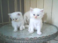 3 Very cute Persian kitten for sale Persian Kittens For Sale, Kitten For Sale, Cats For Sale, Kitty, Pets, Stuff To Buy, Animals, Little Kitty, Animales