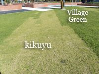 The main advantages of Village Green Turf as compare to other lawn turf. Green Lawn, Green Grass, Lawn Turf, Lawn Care Tips, Drought Tolerant, Roots, Garden Ideas, Commercial, Gardening