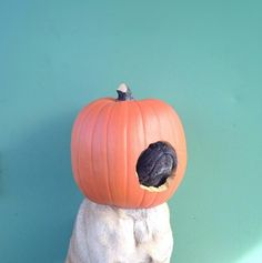 This pug is really getting in the Halloween spirit