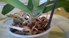 Подсохшие воздушные корни орхидеи