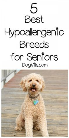 If you are looking for the 5 best hypoallergenic dog breeds for seniors, lucky for you, I was wondering the same thing. Whether you have allergies or not, a hypoallergenic dog will shed minimally. The good thing about these dog breeds are that most of t Best Small Dog Breeds, Best Small Dogs, Dog Breeds That Dont Shed, Large Dog Breeds, Good Dog Breeds, Best Dogs, Non Shedding Dog Breeds, Non Shedding Dogs Medium, Medium Dogs