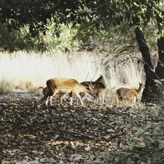 #Jungle on my mind.  #Tbt to this lovely chilly yet sunny December day in #Ranthambore in 2012. How #beautiful are these #deer! I think it's time to take the kids for another #backtonature kinda #holiday.  Hmm.  What are your plans for the upcoming #Diwali #vacation?