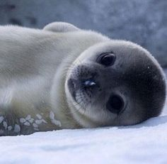 Baby seal- AWW i wanna kiss this face!!!!!!                                                                                                                                                      More