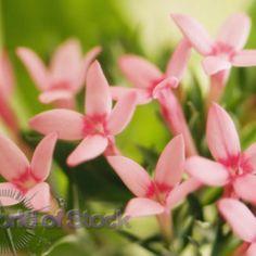 bouvardia pink