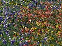 bluebonnets texas hill country | Texas Paintbrush and Bluebonnets with Low Bladderpod, Hill Country ...