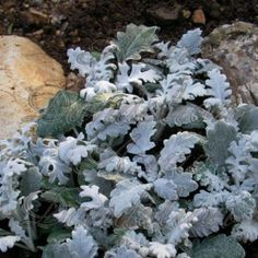 Silver Dust Dusty Miller is mainly grown for the contrast that it brings to flowerbeds with its velvety silver leaves.