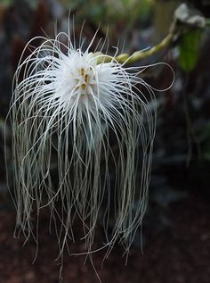 Bulbophyllum (Cirrhopetalum) medusae - The Orchid Column: Weird is Cool. - Bulbophyllum (Cirrhopetalum) medusae – The Orchid Column: Weird is Cool. Strange Flowers, Unusual Flowers, Rare Flowers, Amazing Flowers, White Flowers, Beautiful Flowers, Cool Flowers, Weird Plants, Unusual Plants