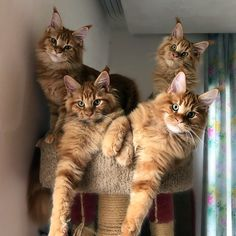 Bandits:) http://www.mainecoonguide.com/characteristics/