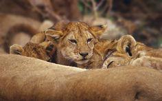 lion backround full hd by Eldon Ross (2017-03-28)