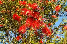 The bottlebrush or callistemon is a small evergreen shrub belonging to the Myrtaceae family. This tree is a native plant of Australia. The tree grows easily in warm climates with...