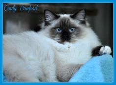 Cindy Pawford is another of our sweet sweet girls from our past breeding Angel Eyes, Sweet Sweet, Sweet Girls, Past, Clip Art, Animals, Past Tense, Animales, Animaux