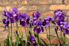 Iris between your poems... (detto anche schurzone) #iris #fiori