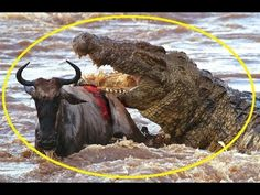 Giant crocodile kills wildebeest - I Predator