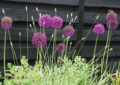 Hummelbo trädgårdar. Lila och grönt mot svart staket
