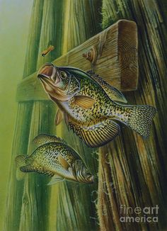 Crappie and bridge support Art Print by JQ Licensing. All prints are professionally printed, packaged, and shipped within 3 - 4 business days. Choose from multiple sizes and hundreds of frame and mat options. Bass Fishing Pictures, Best Fishing, Fishing Tips, Fishing Stuff, Fish Artwork, Fish Paintings, Fishing Photography, Crappie Fishing, Crappie Jigs