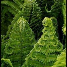 Fractals in nature Unfolding ferns are beautiful. #amazon.com/author/evethomson …