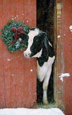 Cute cow with a winter wreath, farm rustic holidays New England