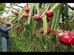 How to grow the Dragon Fruit (Pitaya) Cactus How To Grow Dragon Fruit, Dragon Fruit Cactus, Dragon Fruit Pitaya, Pitaya Fruit, Veg Garden, Fruit Garden, Garden Care, Edible Garden, Small Cactus Plants
