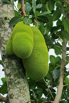 In Brazil, jaca. Jackfruit is nature's largest tree-borne fruit. Fruit And Veg, Fruits And Vegetables, Fresh Fruit, Jackfruit Tree, Strange Fruit, Beautiful Fruits, Tropical Fruits, Delicious Fruit, Exotic Plants