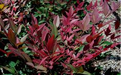 Flirt Dwarf Nandina - Top 10 Most Colorful Landscape Garden Plants for the South selected by Brent Wilson of Wilson Bros. Nursery in McDonough, Georgia Landscaping Plants, Heuchera, Plants, Shrubs, Japanese Painted Fern, Winter Plants, Fall Plants, Southern Living Plant Collection, Buy Plants