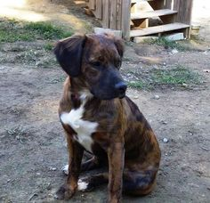 Ruby Red is a 7 months old Boxer, Spaniel, Lab mix with the sweetest disposition and so humble.  She is truly beautiful in looks and personality. She definitely needs a family with another dog and some children for her to play with.  We have her...