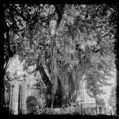 #tramas_urbanas rubber tree #saopaulo #trees
