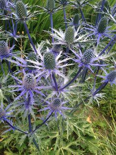 Distel, zilverkleurig met een blauw-paarse gloed erover. Tip voor in de tuin: laat ze 's winters staan voor een mooi silhouet in je border.