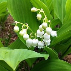 Lily Valley Bulbs Plant 6 Large Flowering Pips FLOWERING Pips Fragrant Blooms #LilyValleyBulbsPlant