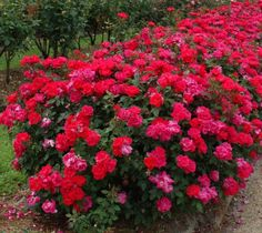 """Red """"Double"""" Knockout Rose"""