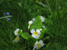 A wet English spring primrose Eve Songs, All About Eve, English, My Favorite Things, Spring, Floral, Plants, Inspiration, Image