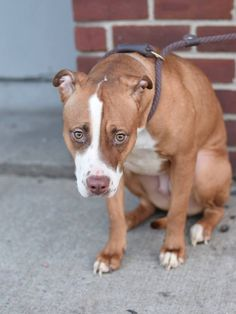 TO BE DESTROYED - 02/03/15 Brooklyn Center -P  My name is MORGAN. My Animal ID # is A1026227. I am a female brown and white am pit bull ter mix. The shelter thinks I am about 1 YEAR 1 MONTH old.  I came in the shelter as a STRAY on 01/24/2015 from NY 11207, owner surrender reason stated was STRAY.