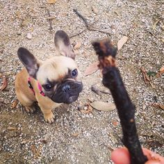 """Gives me dat Stick"", a very focused French Bulldog Puppy"