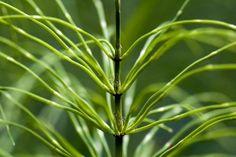 Equisetum arvense - Der Ackerschachtelhalm