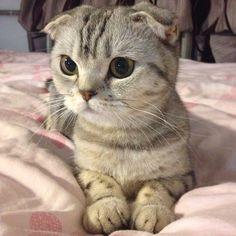 scottish folded ear | Scottish Fold kitty. Those widdle ears | Animals