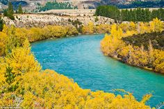 Contrasting colours: Bright yellow autumn trees bring the turquoise Clutha River in Wanaka to life