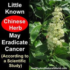 Little Known Chinese Herb May Eradicate Cancer (According to a Scientific Study) Look what this Chinese/Japanese Herb is reported to be able to do Natural Cancer Cures, Natural Cures, Natural Healing, Healing Herbs, Medicinal Herbs, Herbs For Health, Chinese Herbs, Cancer Fighting Foods, Creative