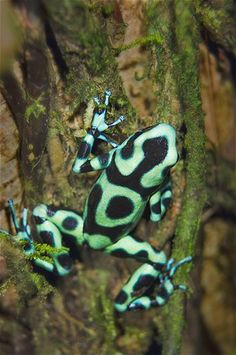 Poison dart frogs are 1 inch long and weigh less than an ounce but are considered one of the most toxic species. Their bright colors warn predators that they are poisonous, although some snakes are not affected by it and can eat the frogs. Poison dart frogs are said to have enough poison to kill 20,000 mice.