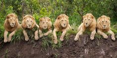 "These princely lions look like they're posing for a family portrait, perhaps taking their cue from one too many tourist groups making the rounds of their home in Tanzania's Serengeti. The six stately creatures with luscious locks are all three-year-old brothers. Photographer Daniel Dolpire was lucky enough to bag this shot while the kings of the jungle relaxed for six amazing minutes. ""I've been taking wildlife photos for over 20 years,"" he says. ""But this has got to be my special moment."""