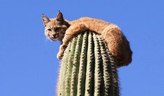 Safe ... bobcat lies on top of a 50ft cactus after climbing up to escape a lion