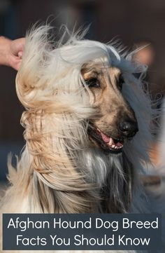 Afghan Hound Dog Breed Facts You Should Know In 2020 Hound Dog
