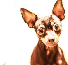 #ratlerek #pincher #dog #doglovers  #Frog #Żabek ❤️