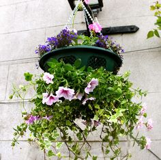 How to Create a Beautiful Hanging Basket   Gardening Articles   Jersey Plants Direct