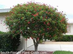 "Jatropha Tree. Look for smaller version, Jatropha integerrima ""compacta"" - which will top out about 7-8 feet high."