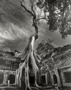 Above, a Rilke¿s Bayon (Tetrameles nudiflora) is growing out of the ruins in Ta Prohm, Siem Reap, Cambodia