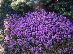 Nombre:  Aubrieta_deltoidea_Purple_Cascade.jpg Visitas: 3077 Tamaño: 38.1 KB