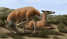 Floridatragulus, an odd long-snouted camelid which roamed North America between 20 and 16 million years ago. The reason for its long nose is unknown – perhaps it allowed it to graze while keeping its eyes high enough to see over tall grasses, or to reach vegetation that other herbivores couldn't.  Modern camelids are found in Africa and the Middle East (dromedary camel), Central Asia (bactrian camel), and South America (llama, guanaco, vicuña, and alpaca), but the group originally evolved…